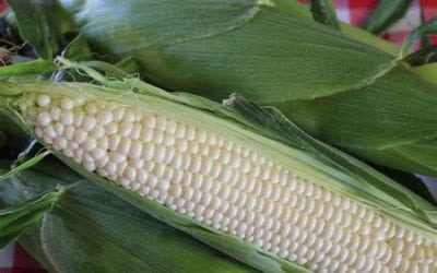 Schwebach Corn — It's THAT Time of Year!